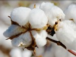 India Emerge As Largest Cotton Producer