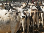 New Cattle Trade Rules May Slaughter 2 000 Cr Industry