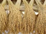 How Earn Money Rice Husk