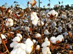 India S Cotton Crop Output To Decline To 343 Lakh Bales