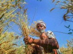 Wheat Import Duty Increased To 40 Percent