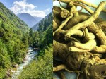 Himachal Meadows Herbal Root Sold To Foreigners