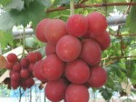 Ruby Roman Grape Auctioned For Rs 7 5 Lakh One Piece Rs