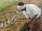 Karif Crops Hit For Excess Rains Rice Dip In 12 Soya Pulses Also Down