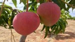 Miyazaki Mango In India World S Most Expensive Mango Variety Priced At Rs 3 Lakh