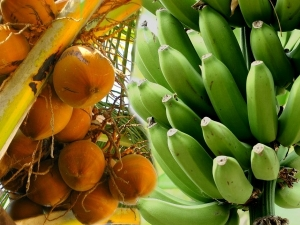 Tamilnadu Tops Kerala Banana Coconut Production
