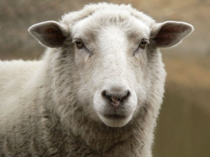 Government Cancels Export Sheep Goats Uae After Protests Jains