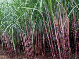 Government Hikes Sugarcane Price Rs 20 Per Quintal From Coming Marketing Year