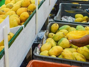 Alphonso Kesar Variety Mangoes Hit Domestic Market Next Week