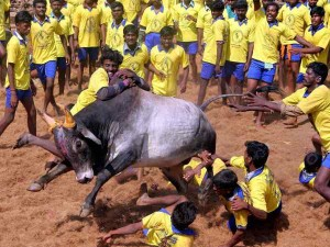 Jallikattu Is Needed Save Our Bos Indicus