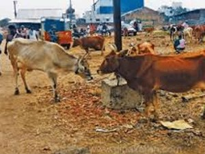 Manaparal Cattle Trade Very Dull