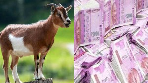 Coal India Loses Rs 2 7cr In 3 5 Hours Because Of Goat