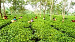 Tea Production And Business May Affecte By Cab Protests